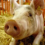 California Reinstates Slaughterhouse Regulation