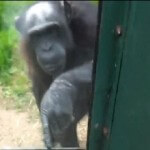 Chimp Implores Visitors With Gestures and Signs To be Released From Zoo