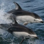 Video of Dolphins Going Viral