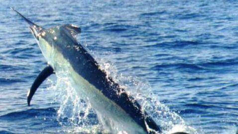 883-Pound Marlin Caught off Coast of North Carolina Lands Boat's Owners in Court