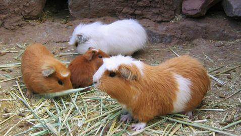 Guinea Pigs Becoming Popular Meals in United States