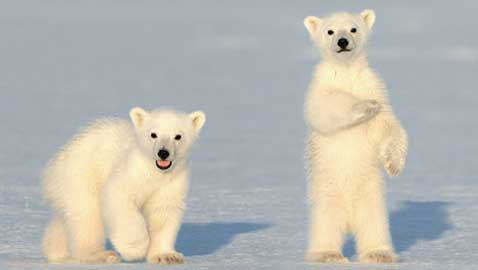 Federal Court Upholds Ban on Importing Polar Bear Trophies