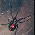 Black Widow Spiders Found in Supermarket Grapes