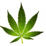 Why Legal Marijuana Growers Lack Legal Representation
