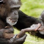 Chimps Not 'Legal Persons,' Court Rules