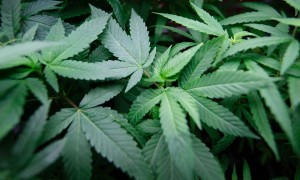 New York State May Legalize Marijuana Soon
