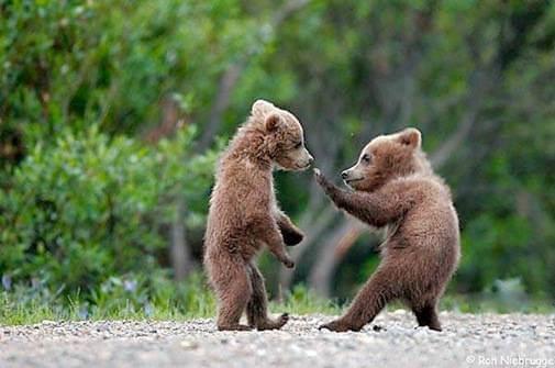 Baby bear cubs doing karate