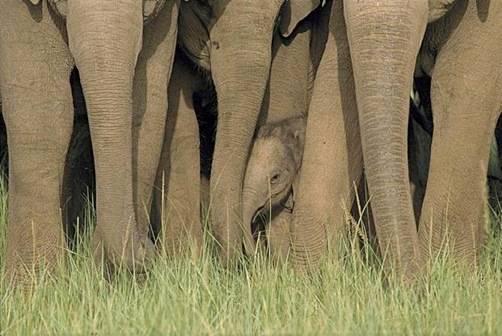 Baby elephant next to family