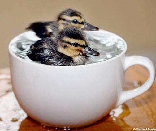 Ducklings sitting in hot tea