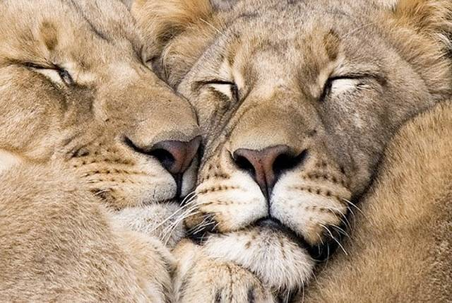 Lion family snuggling and asleep