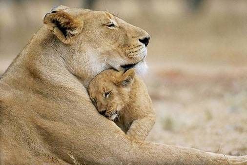 Lioness and cub hugging