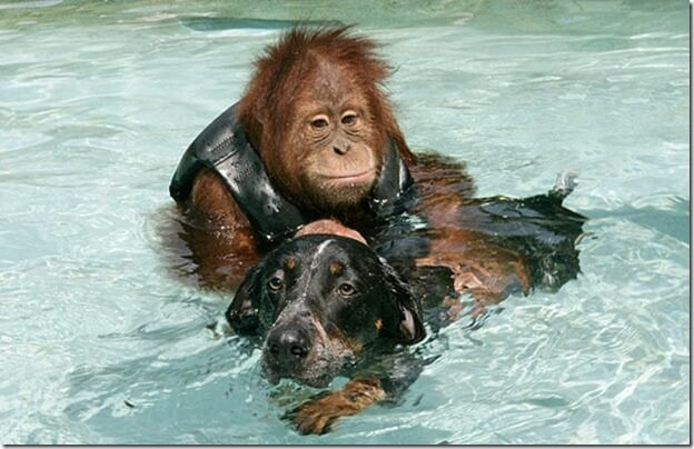 Roscoe swimming with his dog