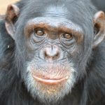 Court Rules Chimpanzees Are Not Persons
