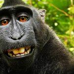 PETA, Photographer Settle Monkey Selfie Case