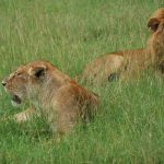 Lion Pride Eats Suspected Poacher in South Africa